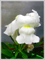 White-coloured Antirrhinum majus (Common Snapdragon, Garden Snapdragon, Snapdragon, Dragon Flowers) at a nursery, Nov 3 2013