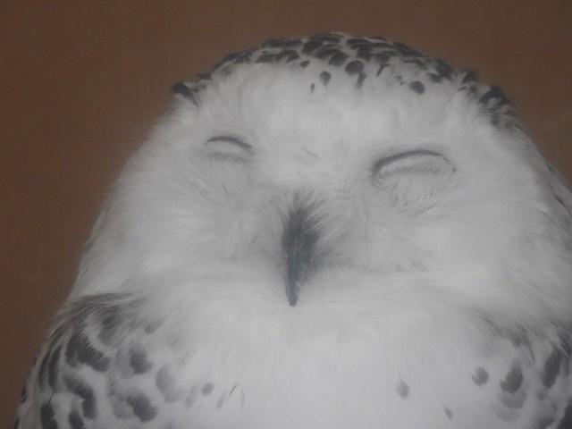 白フクロウにっこり