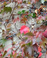 Climbing the walls. #wall #ivy #fall #autumn #igboston