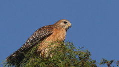 Red-shouldered Hawk- Trinity, Florida