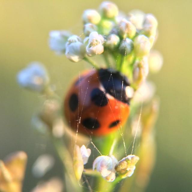 Photo:蜘蛛の糸 Spider's Thread. #ladybug #flower #🐞 #SevenSpottedLadybug #14x #macro #olloclip By norio_nomura