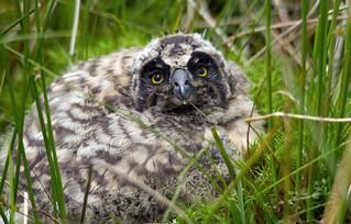 Owlet...Short Eared Owl