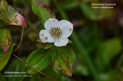 Bunchberry, Bunchberry Dogwood, Dwarf Dogwood, Canadian Bunchberry, Dwarf Cornel, Creeping Dogwood - Cornus canadensis