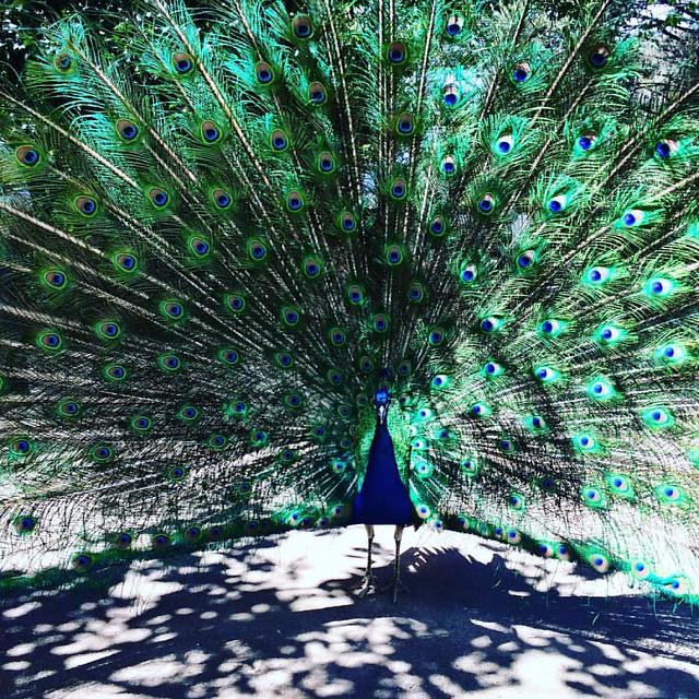 225/365 • preening like a peacock •    #225_2016 #peacock #Spring2016 #bellalunaboat #Tasmania #discovertasmania #feathers #blues #greens #aquamarines