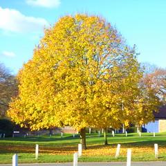 Tree in yellow of Autumn!
