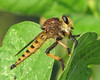 Promachus rufipes - having a very good season by Vicki's Nature