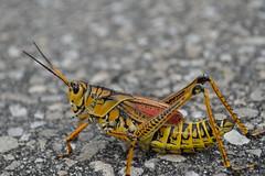 arthropod(1.0), locust(1.0), animal(1.0), cricket(1.0), yellow(1.0), invertebrate(1.0), insect(1.0), macro photography(1.0), grasshopper(1.0), fauna(1.0),