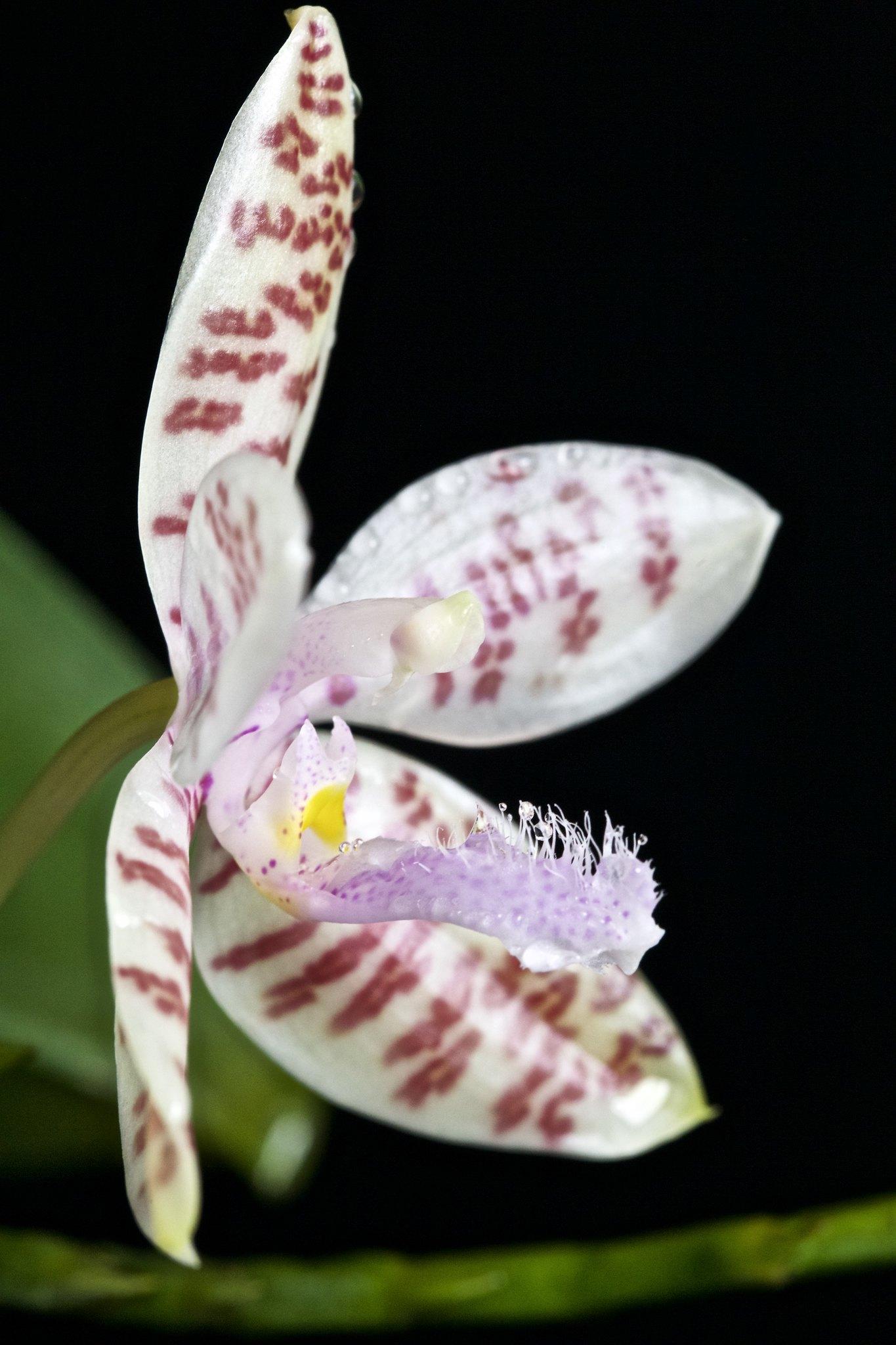 Phalaenopsis hieroglyphica 20979226373_13ad57974f_k