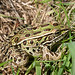 Lithobates pipiens : Northern Leopard Frog by dmills727