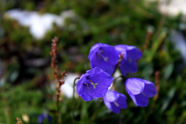 dolomiti mulaz fiori