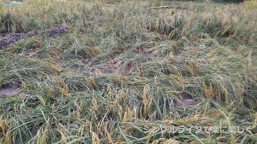 稲刈り・脱穀、稲刈り前の田