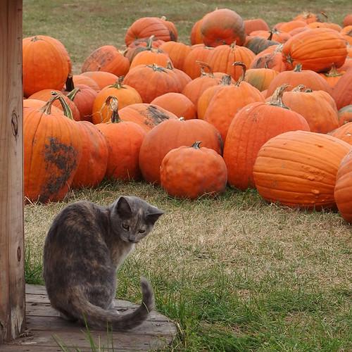 Pumpkin Purrer