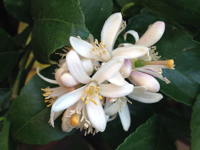 Citrus Blossom