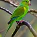 Plain Parakeet (Dani Free)