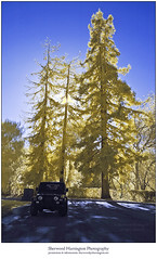 Old Jeep & Young Redwoods, Infrared