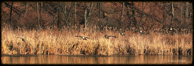 geese over the rushes..
