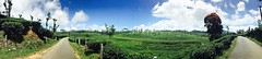 Panoramic view of tea plantation