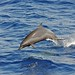 Spotted Dolphin (Chas Anderson)