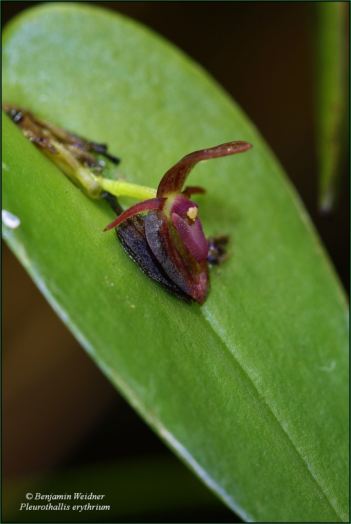 Pleurothallis erythrium (2) k