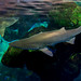 Small photo of Shark Above Water