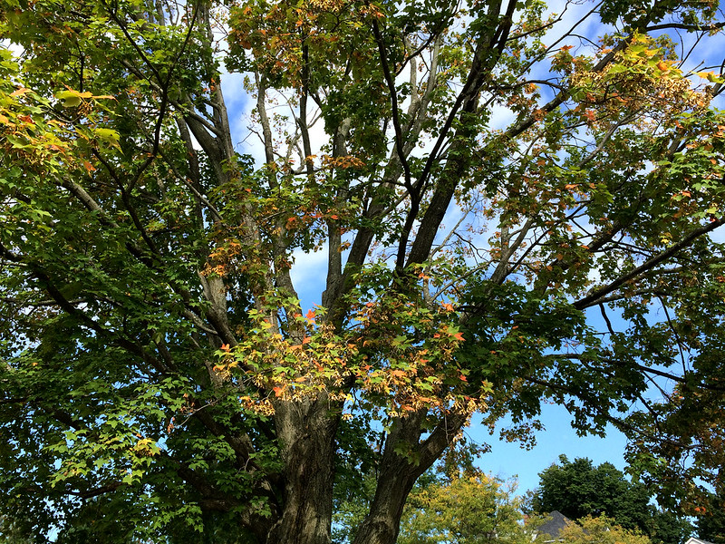 September Sugar Maple