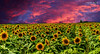Sunflower Field at sunset by Docsherv Photography
