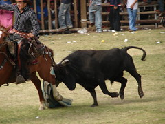 Bos taurus DT [P Amaguaña] (16)