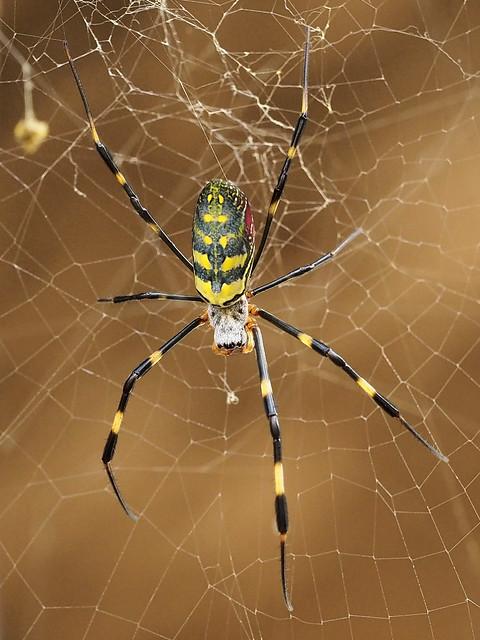 Silk spider
