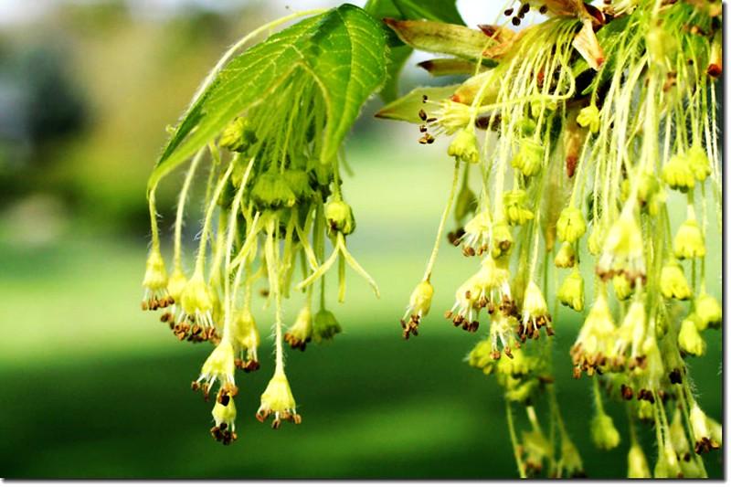 糖楓的花(此照片來源:httpbobklips.comtreeflowers5.html)