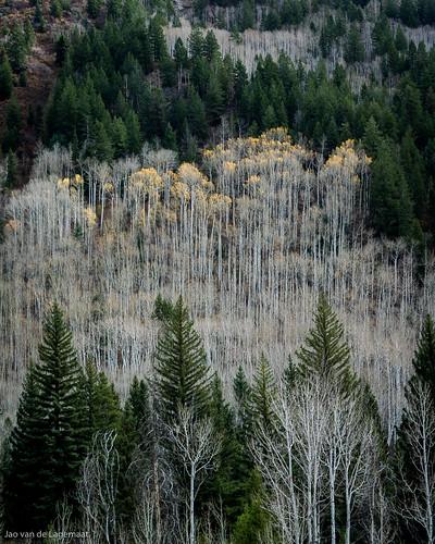 trees usa mountain mountains tree fall leaves season landscape us colorado seasons fallcolor unitedstates northamerica aspen steamboatsprings madcreektrail