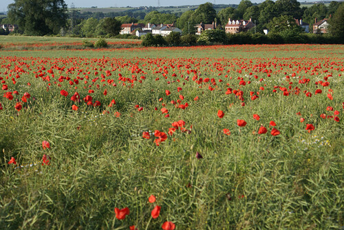 Poppy Field 4