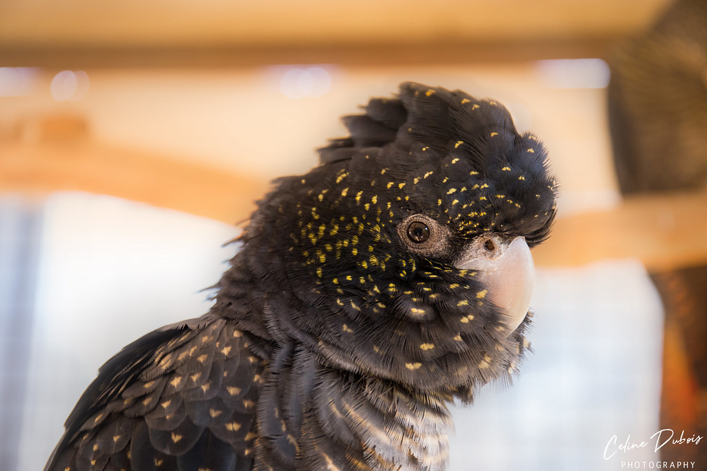 Female Red-Tailed Black Cockatoo