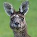 Western Grey Kangaroo (Macropus fuliginosus) by Ian Colley Photography