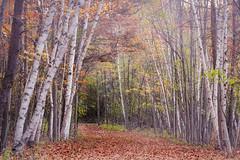 birches beckon