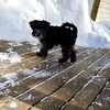 #snow #schnauzers puppy. Flashback