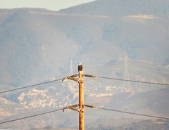 Bald Eagle in Orange County, CA