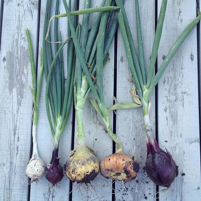 Skördar lök, bönor och potatis. Äter lila krusbär.