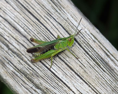 Common Green Grasshopper - Omocestus viridulus