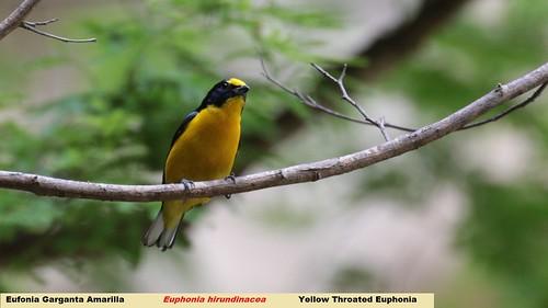 méxico mexico chiapas yellowthroatedeuphonia euphoniahirundinacea elchorreadero eufoniagargantaamarilla