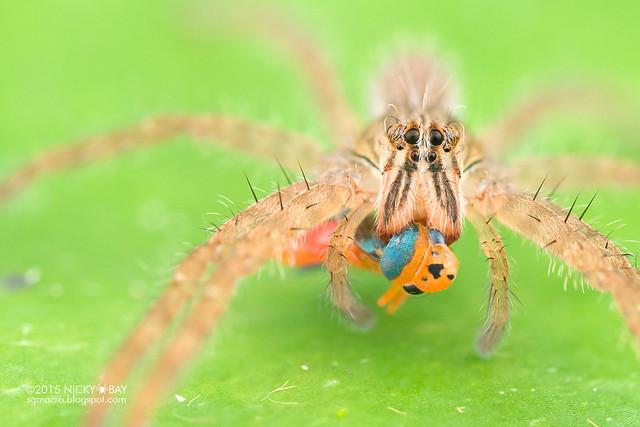Wandering spider (Cupiennius sp.) - DSC_8496