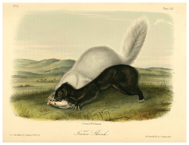 013-Mofeta de Texas-The quadrupeds of North América-Vol2- 1849- 1854-J.J. Audubon-Universite de Strasbourg