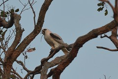 Black - shouldered Kite ( how quick to eat a mouse )