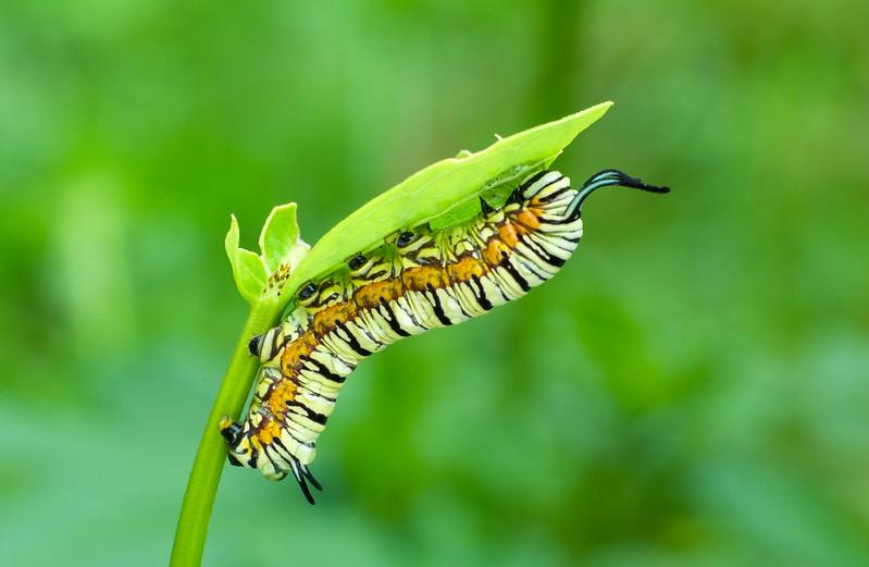 淡紋青斑蝶還小的時候~