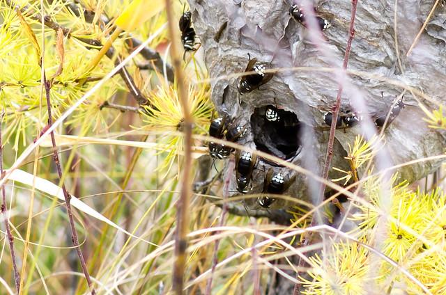 Wasps - Closeup