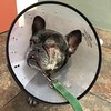 Dessa had her bandage removed, and she looks lovely, see? 50% less crow's feet. One more week of cone zone.