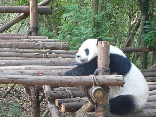 CH-Chengdu-Panda-géant (3)