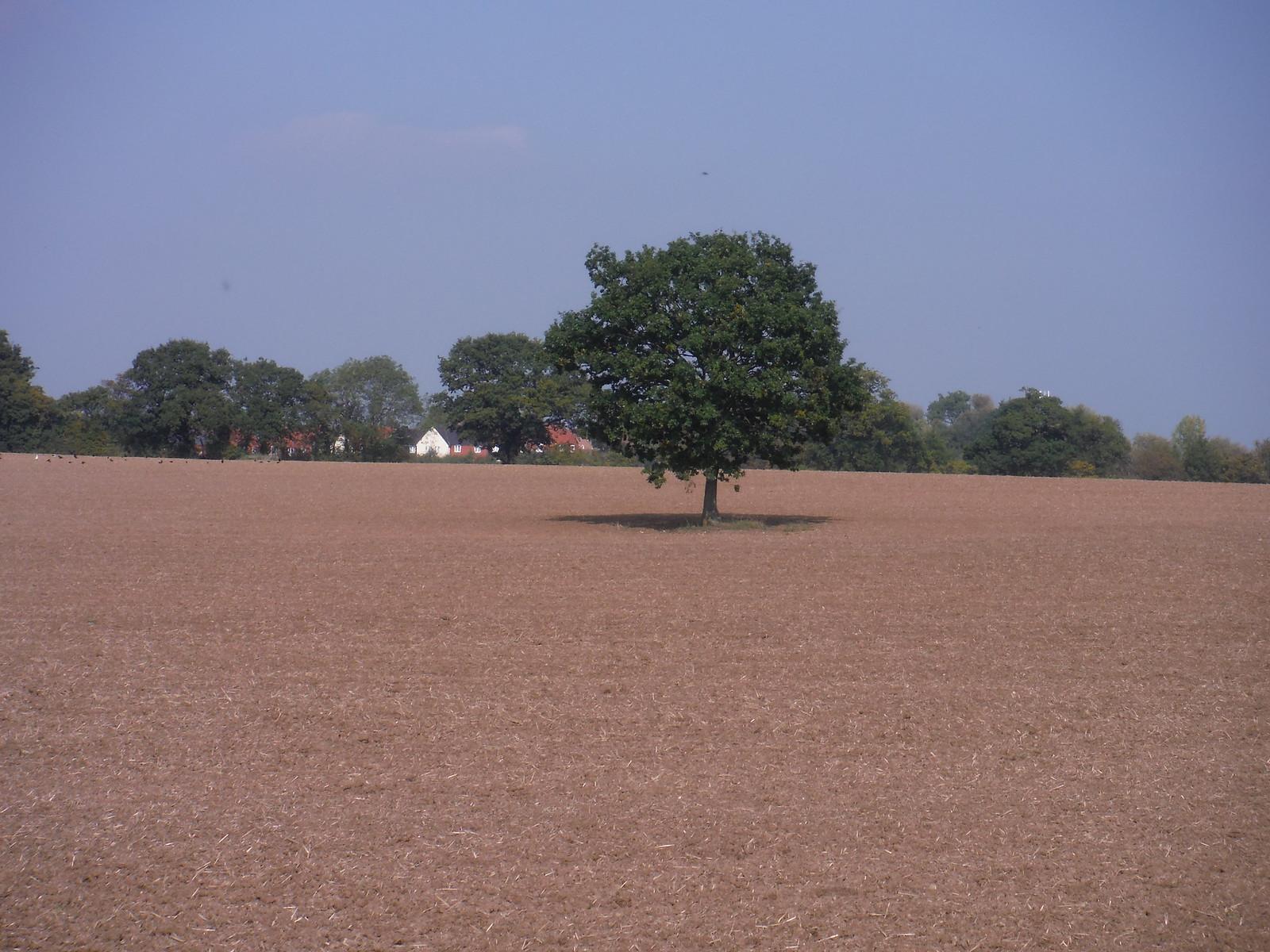 Tree in Field SWC Walk 159 South Woodham Ferrers to North Fambridge