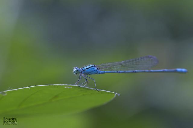 Common Bluet