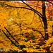 The Golden Glow 十月圍城 - Van Dusen XT4192e by Harris Hui (in search of light)