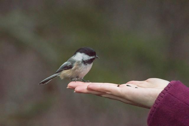 chickadee friend